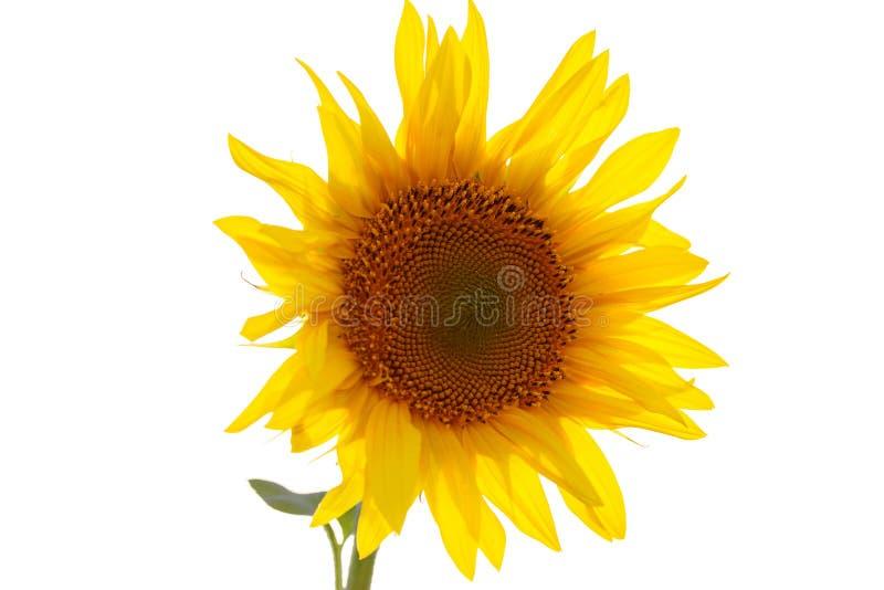 Fleur de tournesol d'isolement sur le fond blanc Graines et p?trole images stock