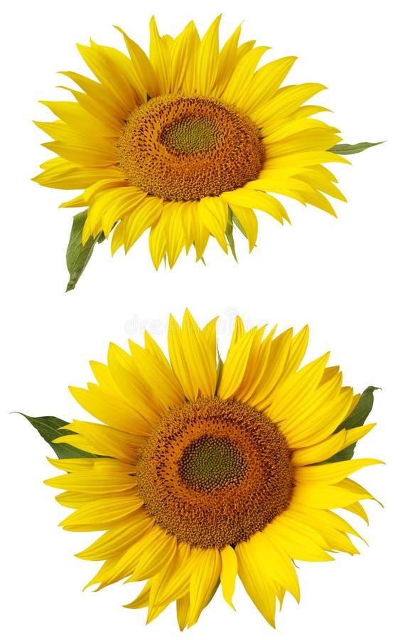 Fleur de tournesol d'isolement sur un fond blanc image libre de droits