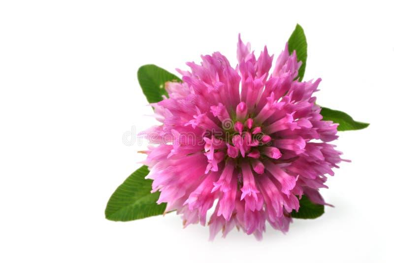 Fleur de trèfle photographie stock