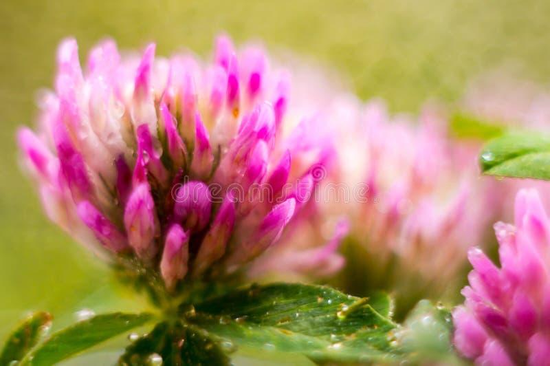 Fleur de trèfle avec des baisses de rosée étroitement  Fond floral magnifique Orientation molle Orientation choisie images stock