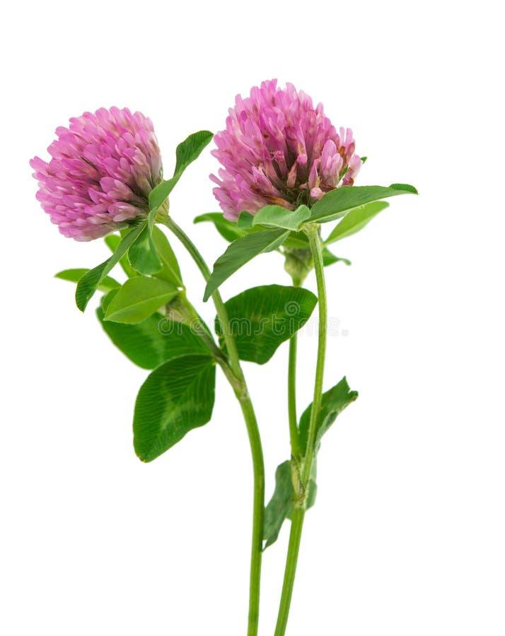 Fleur de trèfle d'isolement photographie stock libre de droits