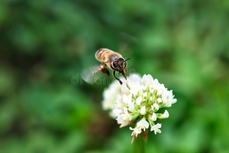 Fleur de trèfle de Honey Bee Flying Around White photographie stock libre de droits
