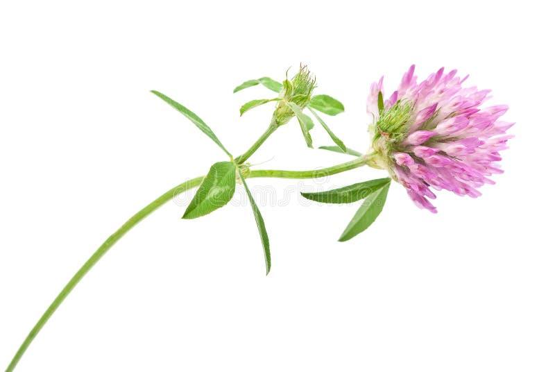 Fleur de trèfle violet photos stock