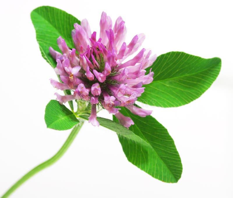 Fleur de trèfle violet photo libre de droits