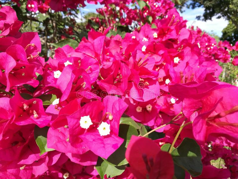 Fleur de Trinitaria image libre de droits
