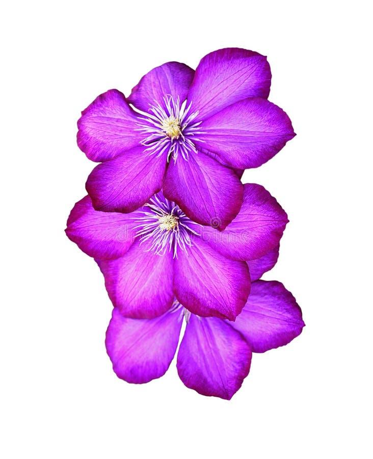 Fleur de trois clématites d'isolement au-dessus du blanc photographie stock libre de droits