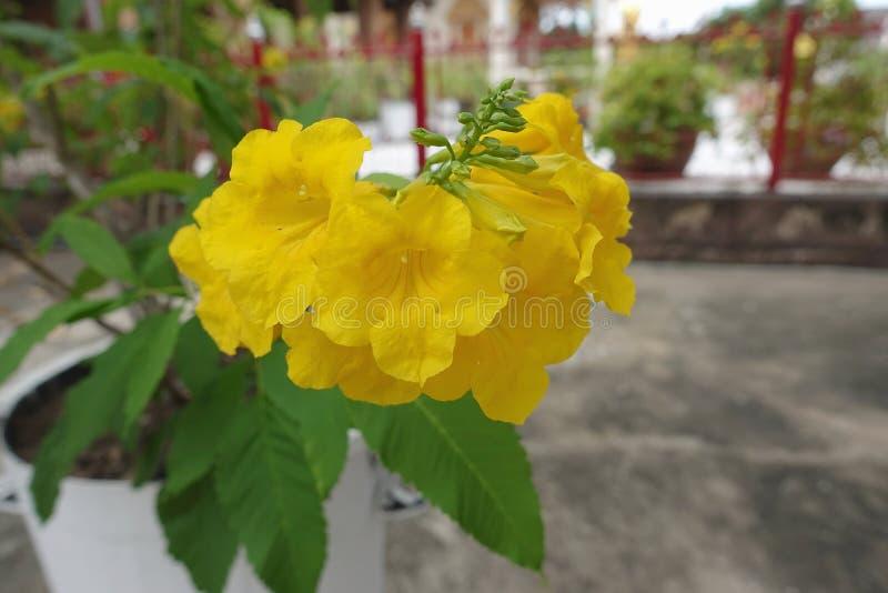 Fleur de trumpetbush ou stans jaunes de Tecoma photos stock