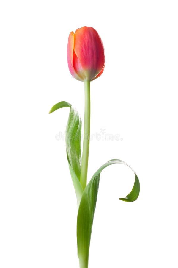 Fleur de tulipe image libre de droits
