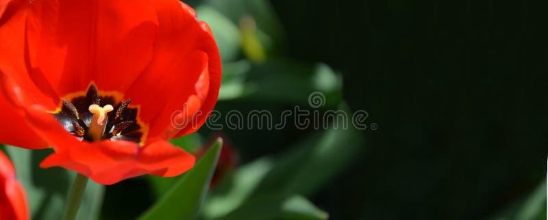Fleur de tulipe avec le fond brouillé de nature, bannière photographie stock