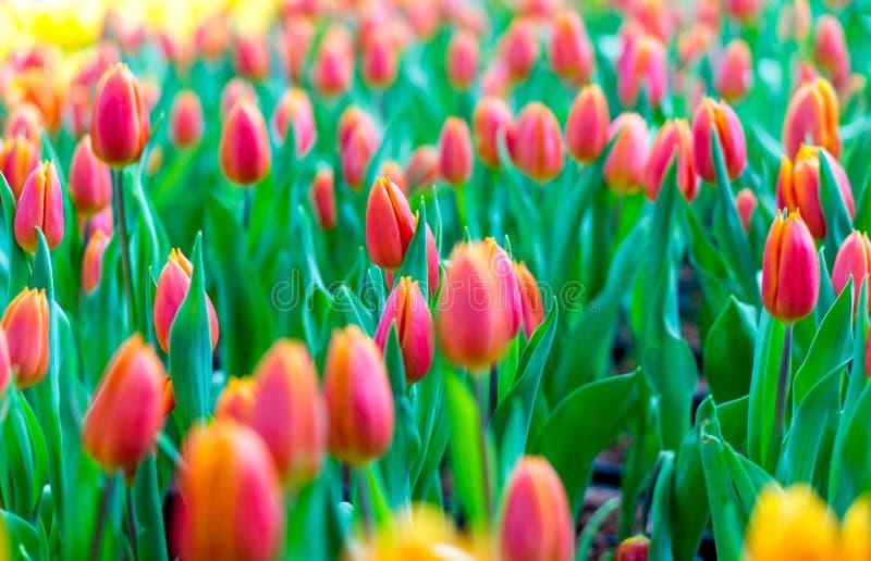 Fleur de tulipe avec le fond vert de feuille photographie stock libre de droits