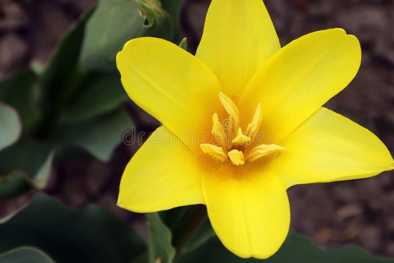 Fleur de tulipe avec le fond vert de feuille dans le domaine de tulipe ? l'hiver ou ? la journ?e de printemps pour la d?coration  photo libre de droits
