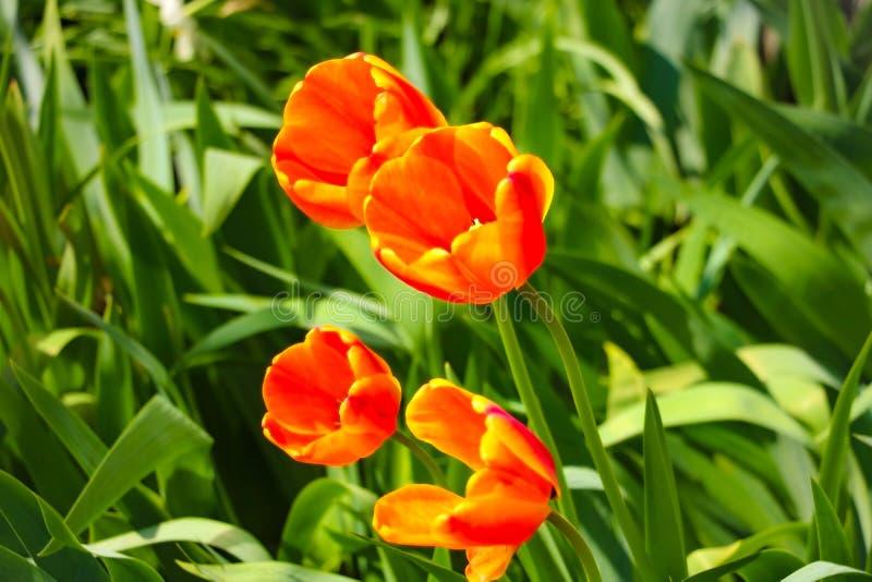 Fleur de tulipe avec le fond vert de feuille dans le domaine de tulipe pour la décoration de beauté de carte postale et la concep image libre de droits