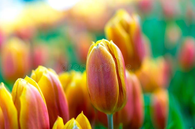 Fleur de tulipe avec le fond vert de feuille photos stock