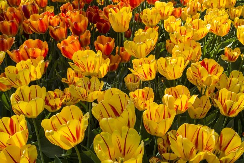 Fleur de tulipe Beau bouquet des tulipes Tulipes colorées photo stock