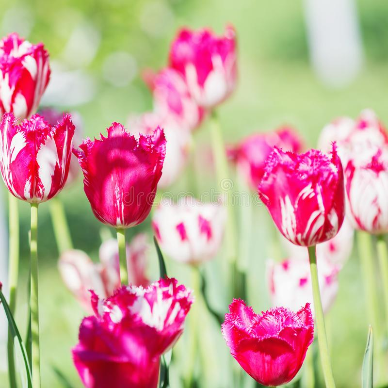 Fleur de tulipe Beau bouquet des tulipes Tulipes colorées Tuli photos stock