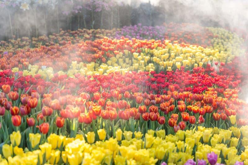 Fleur de tulipe Les belles tulipes dans la tulipe mettent en place avec le fond vert de feuille à l'hiver ou à la journée de prin image stock