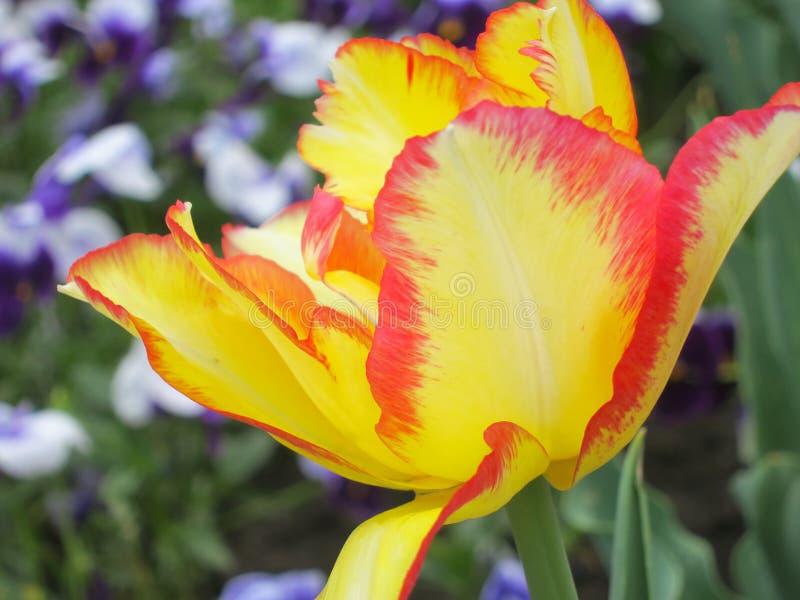 Fleur de tulipe - photos courantes image stock