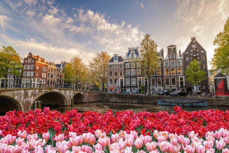 Fleur de tulipe de ressort d'Amsterdam, Pays-Bas image libre de droits