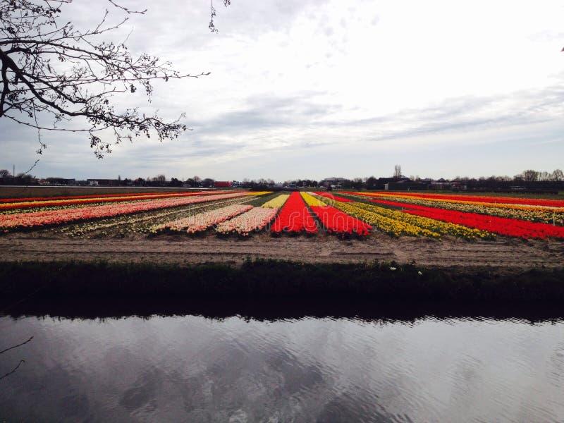 Fleur de tulipes images stock