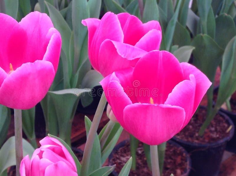 Fleur de tulipes photo stock