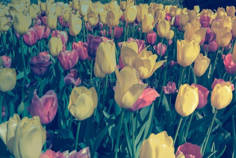 Fleur de tulipes photographie stock libre de droits
