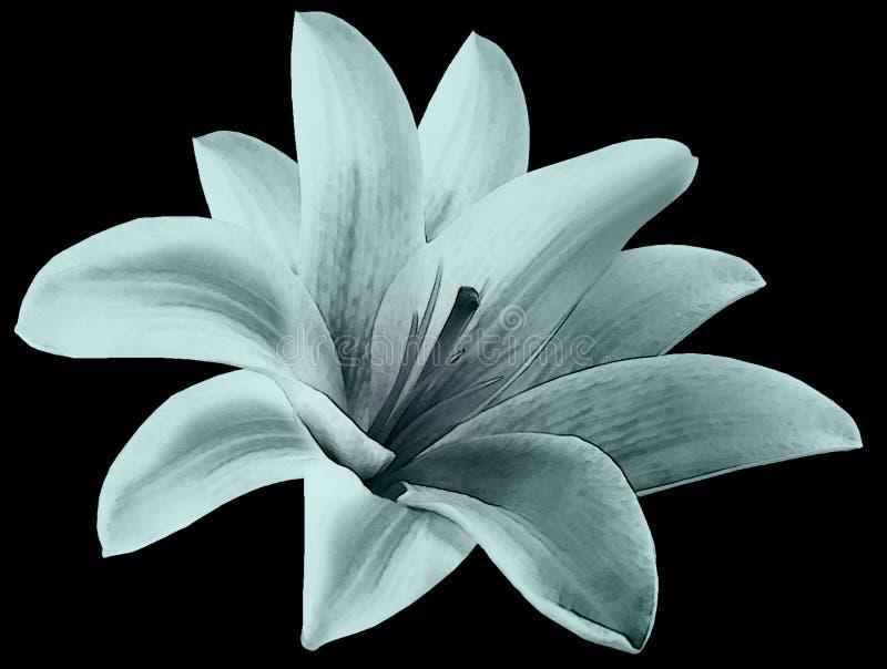 Fleur de turquoise de lis d'aquarelle avec le chemin de coupure sur le fond noir Pour la conception closeup images stock