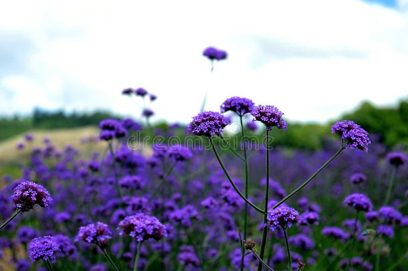 Fleur de verveine photo libre de droits