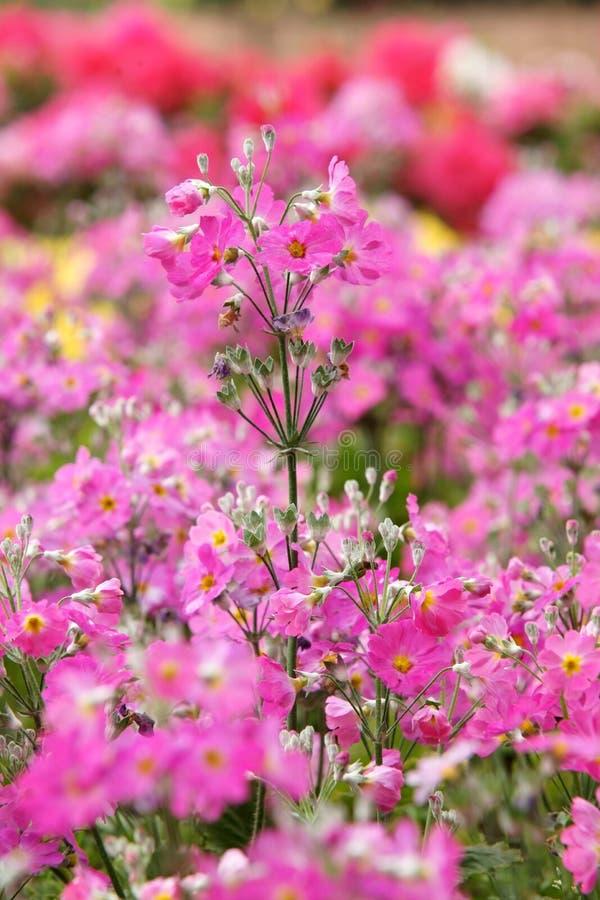 Fleur de verveine de jardin photographie stock libre de droits