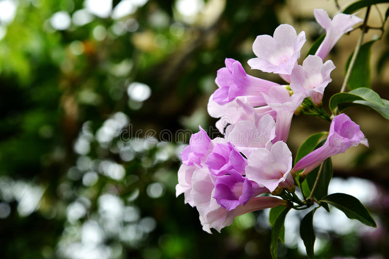 Fleur de vigne d'ail images libres de droits