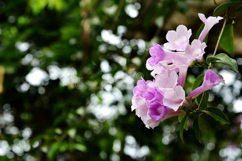 Fleur de vigne d'ail image libre de droits