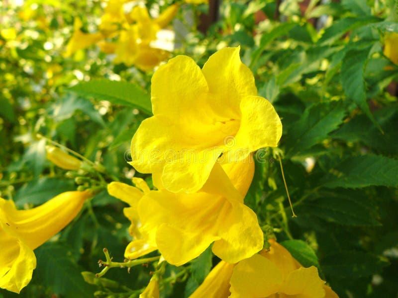 fleur de vigne de griffe de chats photo libre de droits