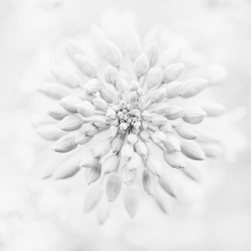 Fleur de viol photos stock