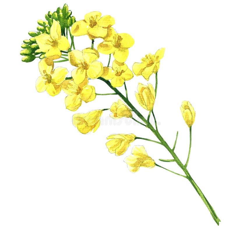 Fleur de viol, canola ou colza fleurissant de graine de colza, fleur de floraison de napus de brassica, plante pour l'industrie p illustration de vecteur
