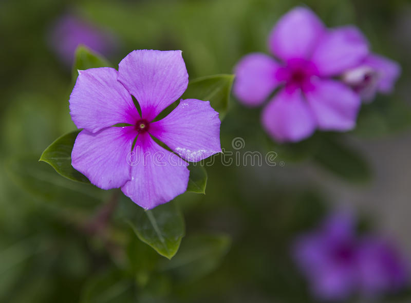 Fleur de walleriana d'Impatiens images libres de droits