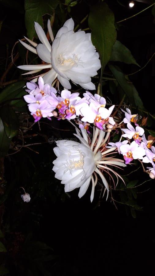 fleur de wijaya de kusuma photo stock