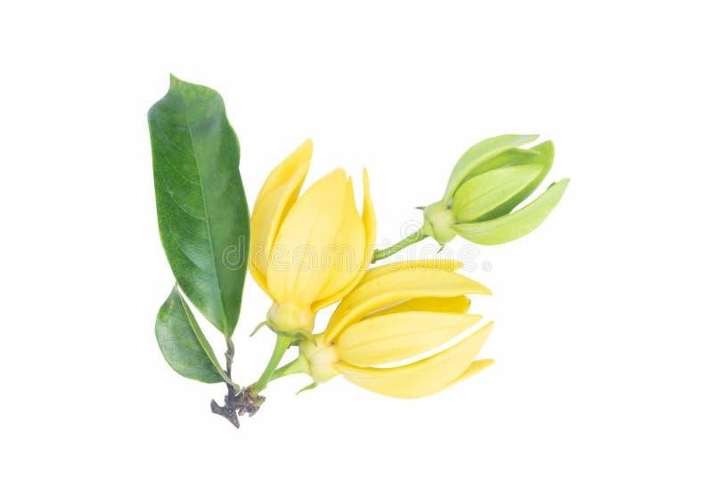 Fleur de ylang-ylang, fleur parfumée jaune sur le fond blanc photographie stock