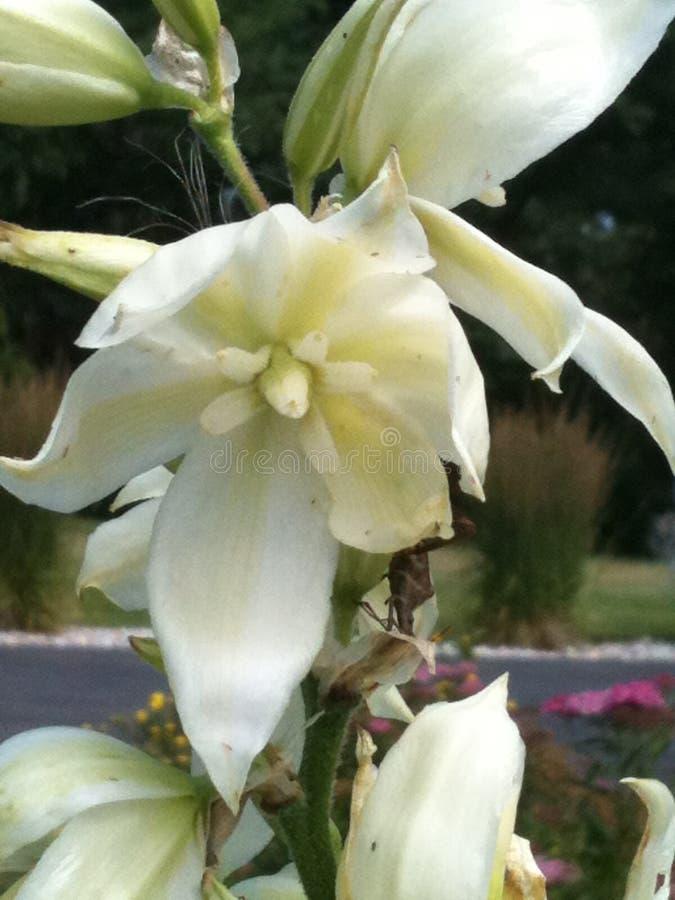 Fleur de yucca photo stock