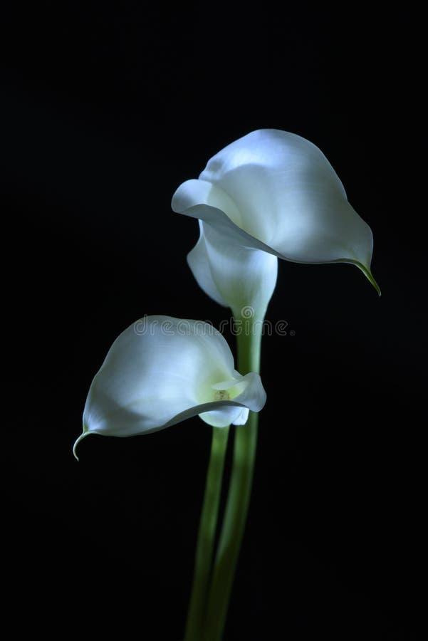 Fleur de zantedeschia d'isolement sur le noir image libre de droits