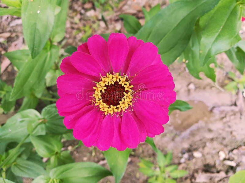 Fleur de Zinnia dans le jardin images libres de droits