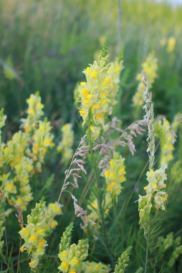 Fleur de zone Fleurs des champs Fleur jaune Belle fleur de champ, été, jour ensoleillé Fond mou Fleurs de Prirodorozhnye photos libres de droits