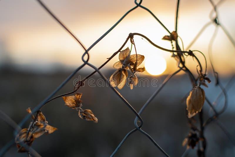 Fleur derrière la barrière à chaînes sur le coucher du soleil photo stock