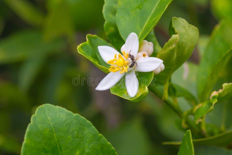 Fleur Des Fruits De Bergamote Sur L'arbre Photo stock ...