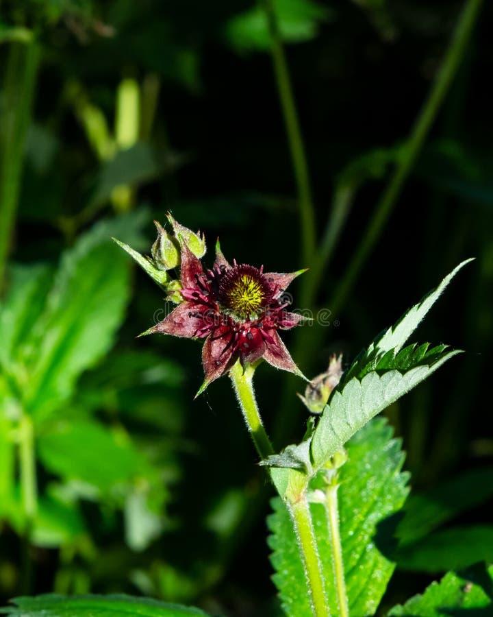 Fleur des marshlocks ou du cinquefoil pourpres de marais, macro de palustre de Comarum, foyer sélectif, DOF peu profond images stock