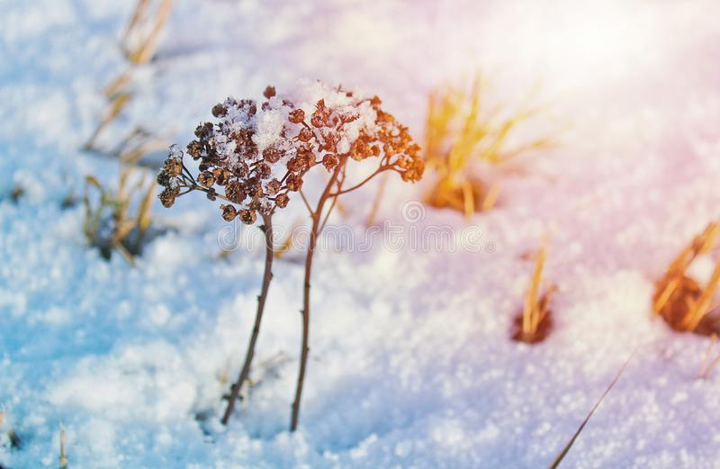 Fleur deux sèche couverte de neige, colorée dans l'orange image stock