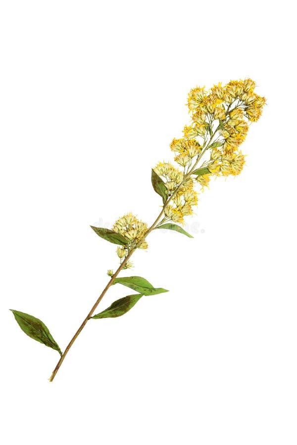 Fleur dorée pressée et sèche D'isolement image stock