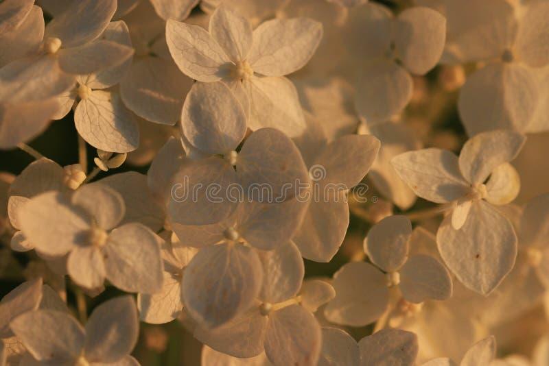 Fleur douce de pomme photos libres de droits