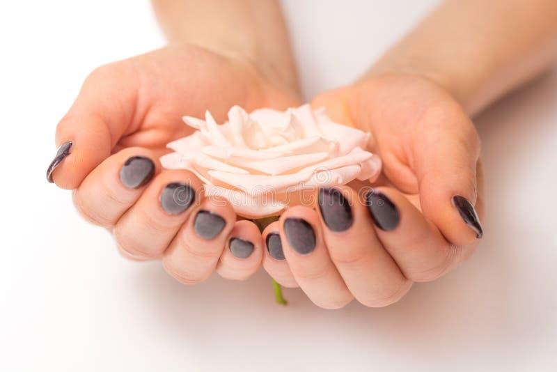 Fleur douce de rose de rose dans de jeunes mains femelles d'isolement sur le fond blanc photographie stock libre de droits