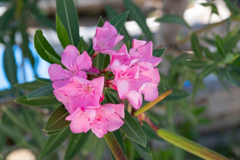 Fleur douce rose molle d'oléandre ou une baie d'olean parfumé de roses photographie stock libre de droits