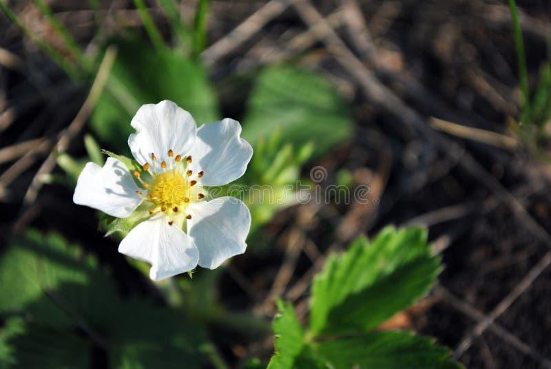 Fleur du fraisier commun, ressort croissant dans la fin de forêt vers le haut du macro détail, herbe vert-foncé trouble molle photos libres de droits