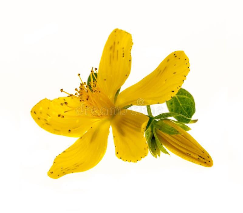 Fleur du moût de St John images libres de droits